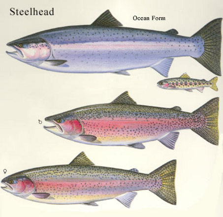large_steelhead-allforms.jpg
