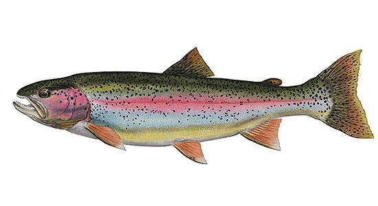 rainbow-trout-2.jpg