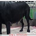 高山犬懷孕2.jpg