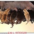 高山犬幼犬5天2