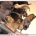 高山犬幼犬5天3