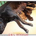 高山犬幼犬5天5