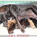 高山犬幼犬5天8