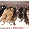 高山犬幼犬5天10