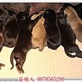 高山犬幼犬5天11