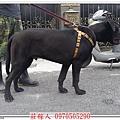 高山犬ANIKI6個月2.jpg