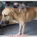 高山犬24天2.jpg
