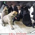 高山犬24天6.jpg