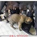 高山犬24天7.jpg