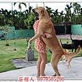 與高山犬跳舞3.jpg