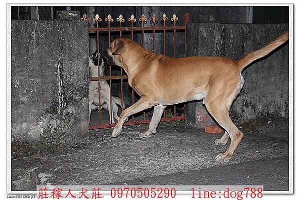 高山犬巡邏3.jpg