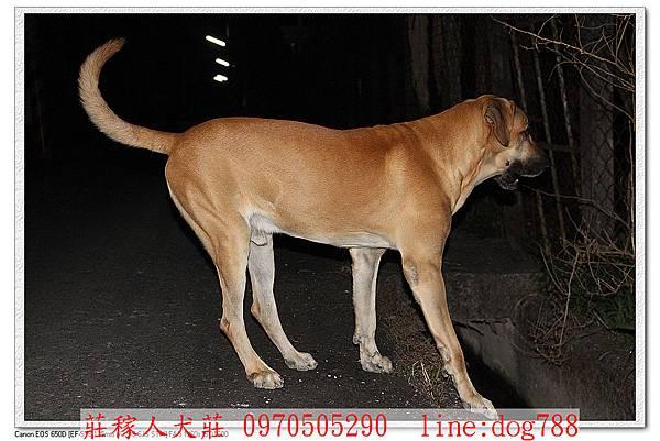 高山犬巡邏4.jpg