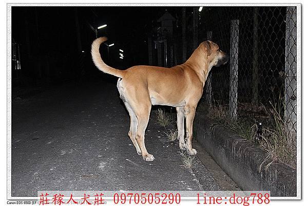高山犬巡邏8.jpg