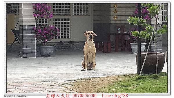 nEO_IMG_高山犬顧家1.jpg