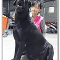 大種母高山犬賓果6.jpg