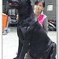大種母高山犬賓果7.jpg