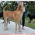 nEO_IMG_高山犬賓果懷孕43天2.jpg