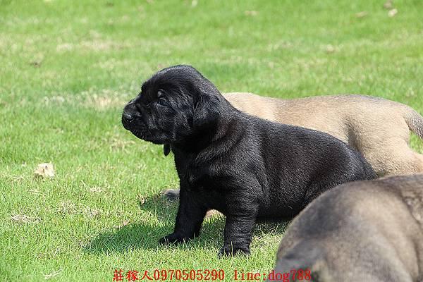 小高山犬3