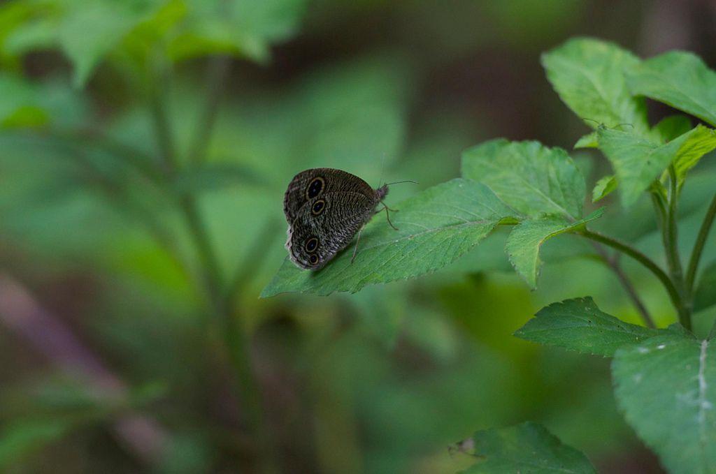 波紋蛇目蝶
