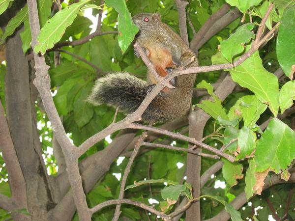 植物園旁邊樹上的松鼠
