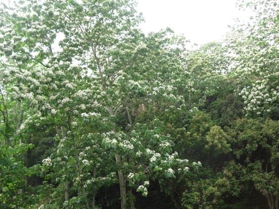 20110504福田社區近拍油桐樹.JPG