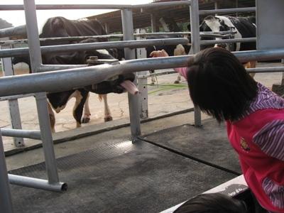 牛的舌頭超長滴.JPG