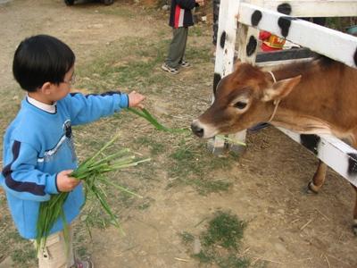 品聖餵牛吃牧草1.JPG