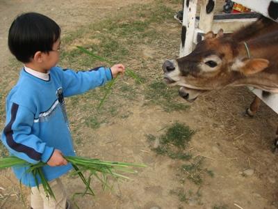 品聖餵牛吃牧草2.JPG