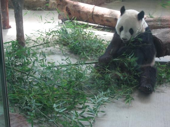 熊貓吃竹葉.JPG