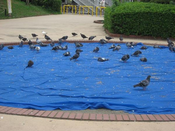 習志野召會附近車站的廣場上的鴿子.JPG