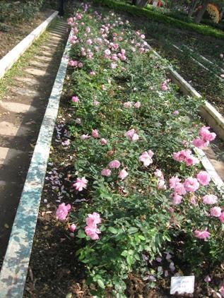 20110205士林官邸的玫瑰花1.JPG