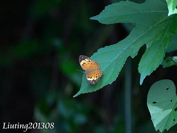 台灣黃斑蝶.JPG