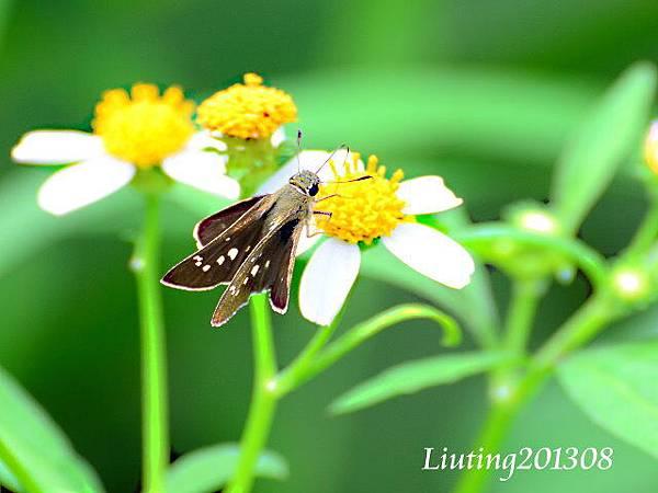 狹翅弄蝶.JPG