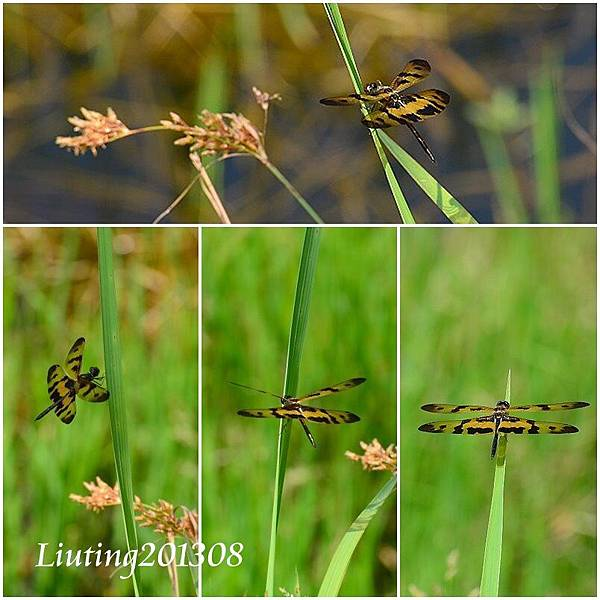 彩裳蜻蜓.jpg