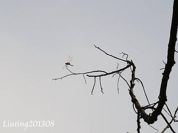 紫紅蜻蜓.JPG