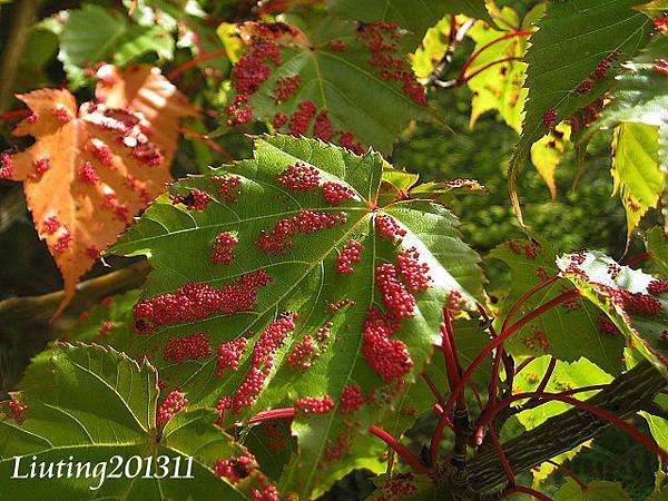 紅榨槭長蟲癭.JPG