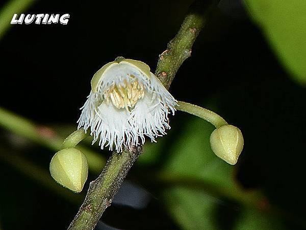 錫蘭橄欖花近照1