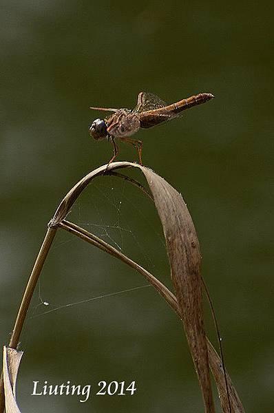 褐斑蜻蜓.JPG