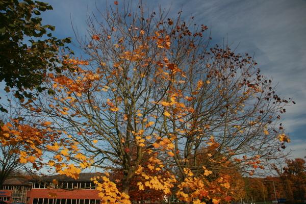 Moto對街我最愛的楓樹(2008_11_7)