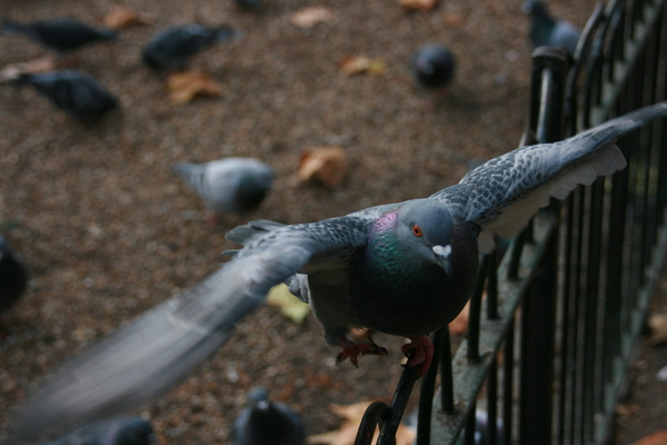 鴿子飛來討食物