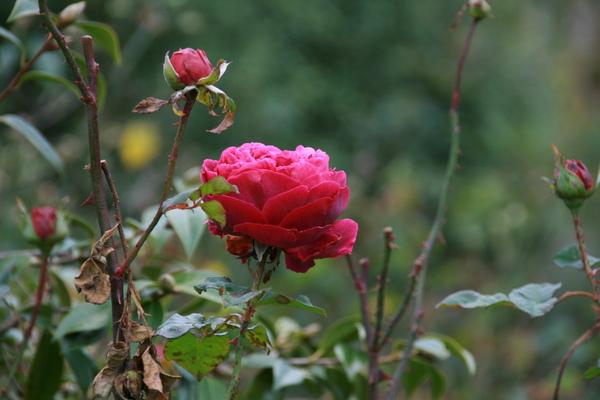 海德公園的玫瑰花園