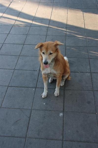 泰國的狗乖到爆炸