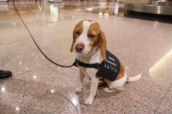 中正機場緝毒犬