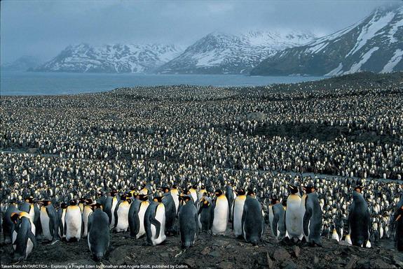 king-penguins-south-georgia.jpg