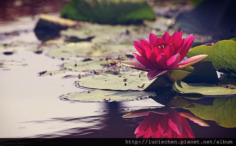 pink-lily-petal-pond-flower-smell