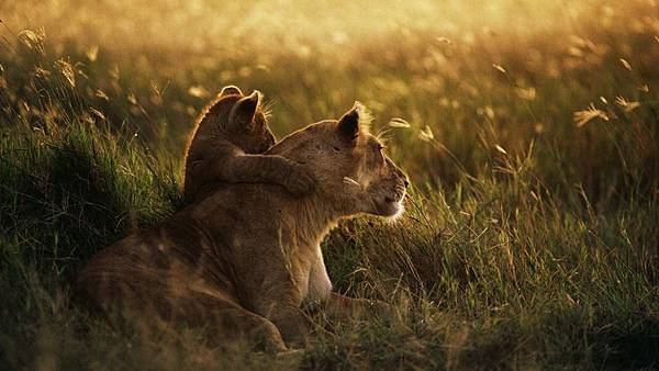 light sunset nature love family grass lions hugging 1920x1080 wallpaper_www.wallmay.net_69