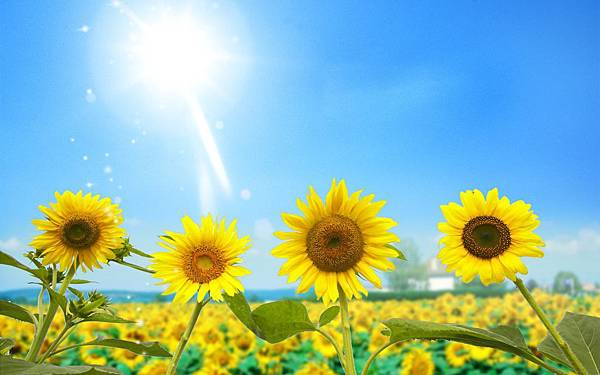 nature-sun-photography-sunlight-blue-sky-sunflowers