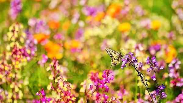 butterfly-flowers-1920x1080