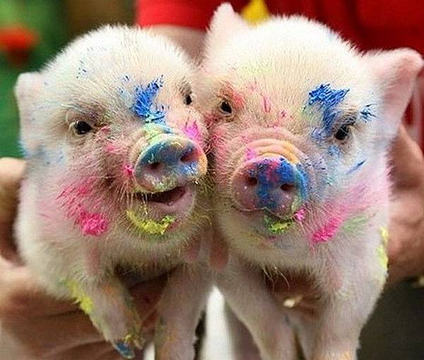 funny-pigs