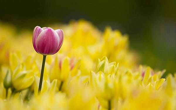 tulips-many-yellow-flowers-hd-wallpaper
